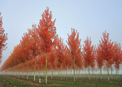 10123-Acer-rubrum-October-Glory-Herbst