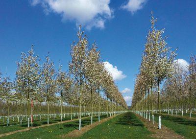 Amelanchier arborea Robin Hill Blüte