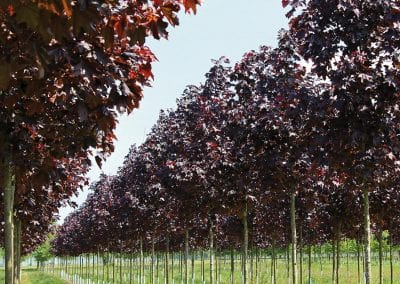 Acer platanoides Royal Red