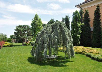 8659-UA-Odessa-Privatgarten-Cedrus-atlantica-Glauca-Pendula