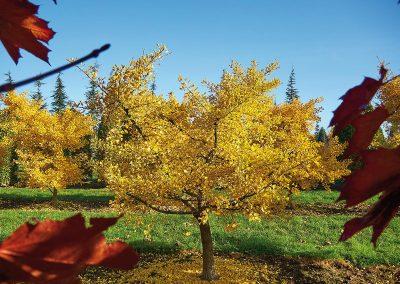 9908-Ginkgo-biloba-Tubifolia-Herbst