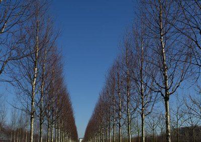 Betula ermanii Holland Hochstamm