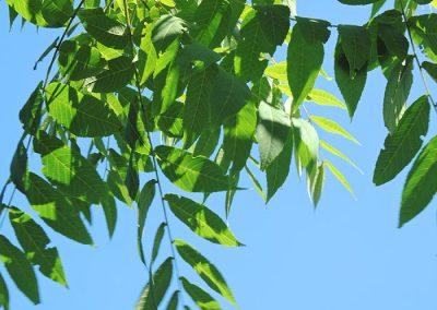 Juglans nigra Blatt