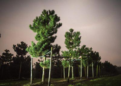 Pinus nigra laricio