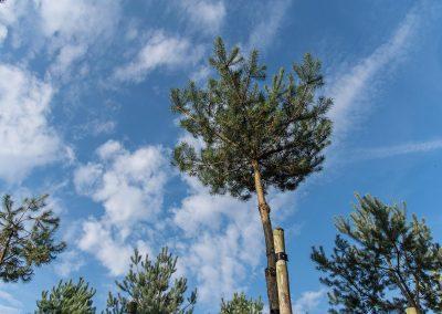 Pinus-sylvestris-Gipfelstürmer-Krone-NEREI-0689_24339089868_777440