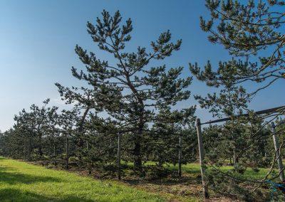 Pinus-sylvestris-Norske-Typ-WEIH-0765_38159682722_777440