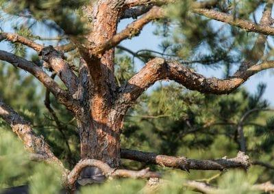 Pinus sylvestris Norske Typ