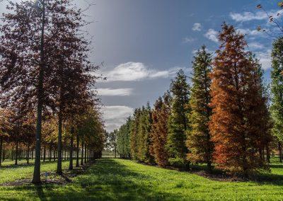 Taxodium distichum Stammbusch Herbstfärbung