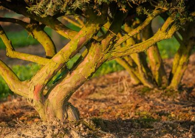 Taxus baccata mehrstämmig aufgeastet