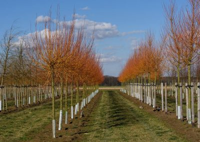 Salix alba chermesina Kopfform