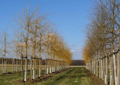 Salix alba Tristis Hochstamm