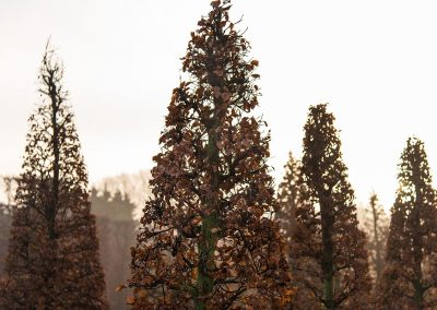 Fagus sylvatica Kegel Herbstfärbung
