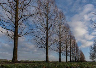 Metasequoia glyptostroboides Hochstamm