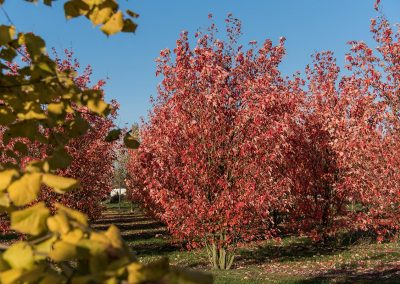 Acer freemanii Autumn Blaze mehrstämmig Herbstfärbung