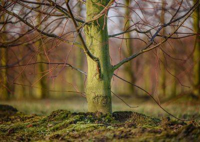 Tilia europaea Pallida Typ Lappen Stammbusch