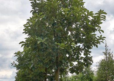 10061-Quercus-dentata