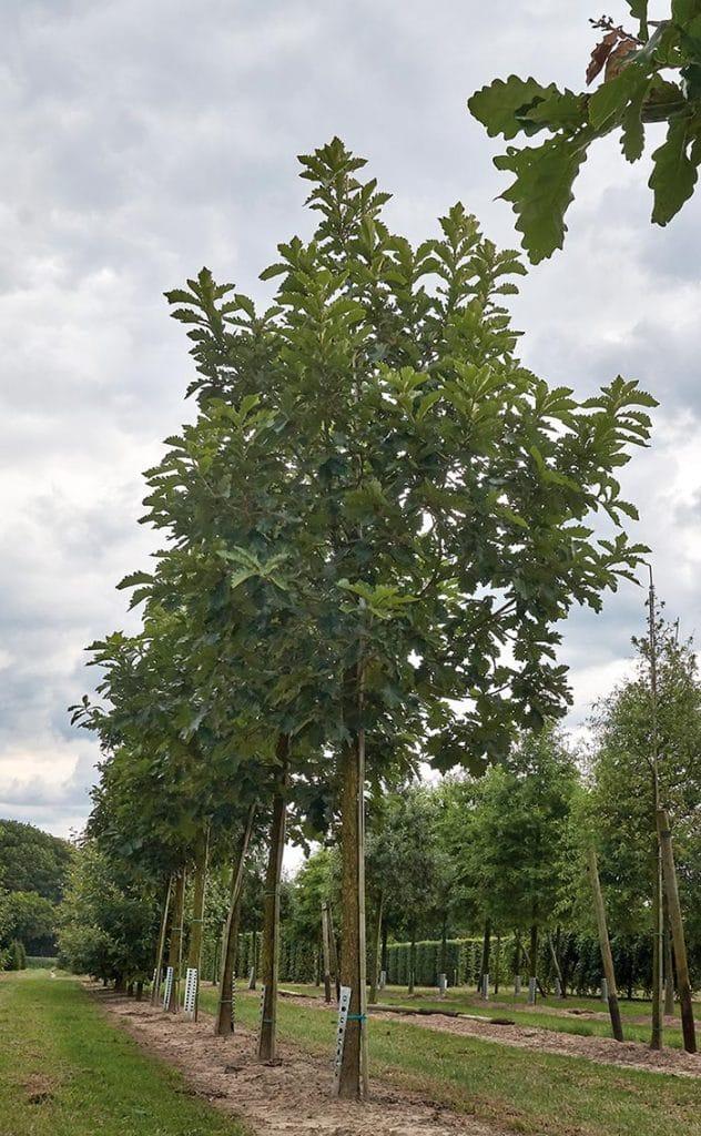 Quercus dentata Hochstamm