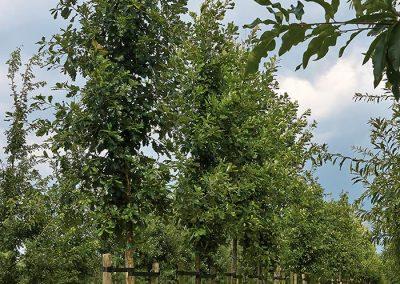 10077-Quercus-macrocarpa