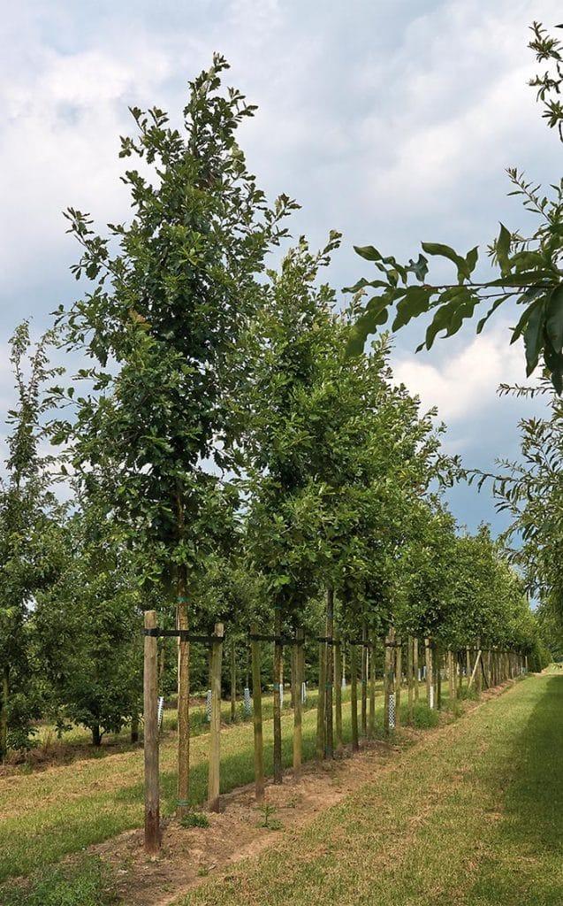 Quercus macrocarpa Hochstamm