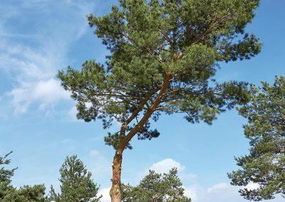 10104-Pinus-sylvestris