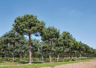 10107-Pinus-sylvestris-pinienförmig-geschnitten