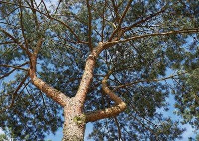 10119-Pinus-sylvestris-Krone