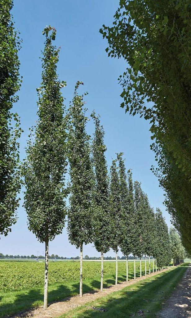 Populus tremula Erecta Hochstamm