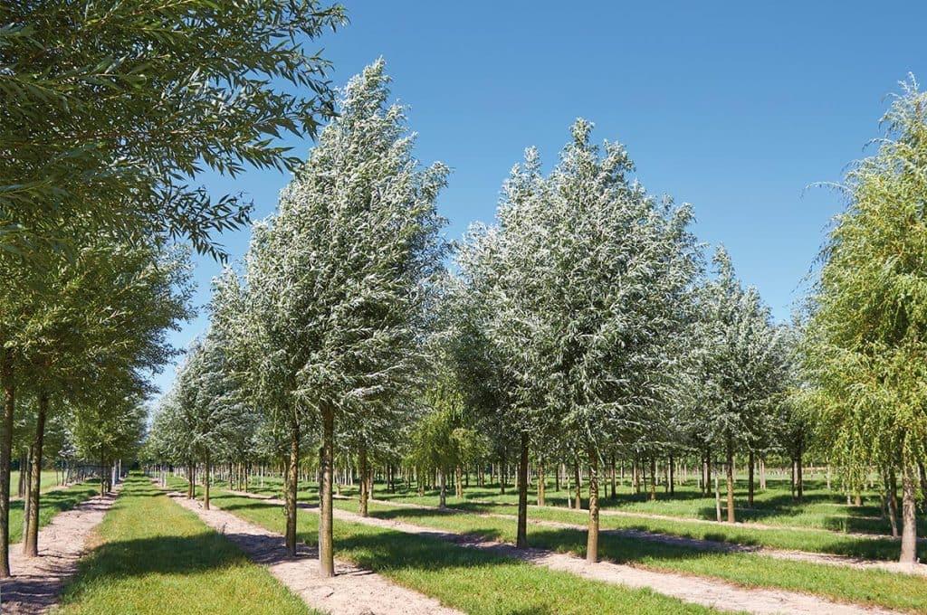 Salix alba Hochstamm
