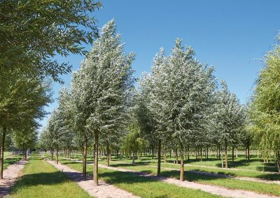9930-Salix-alba
