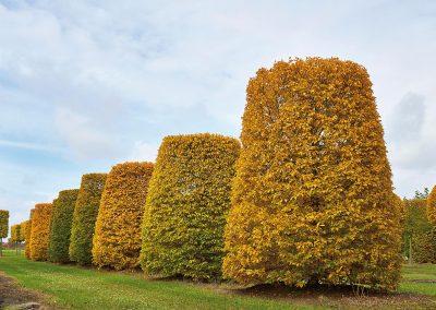 9964-Carpinus-betulus-Kegelstumpf-Herbst