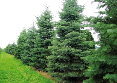 Abies-concolor-B-200-300-H-500-600-2STAMS--8556