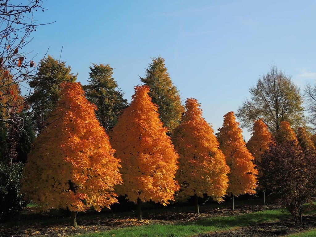 Acer platanoides Columnare Dila Kegel auf Stamm