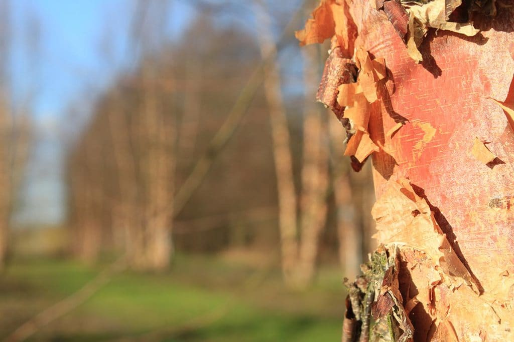Betula nigra Heritage Rinde