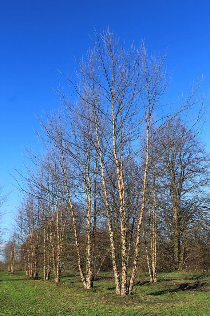 Betula nigra Heritage mehrstämmig