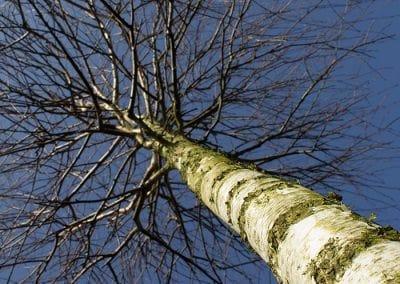 Betula-pendula-Kasten-Krone-BREYP-(1)