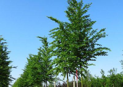 Ostrya-carpinifolia-25-30-35-2KU_2