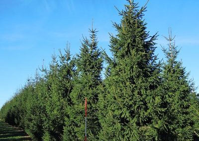 Picea-abies-450-500-550-600-1STAMS_1