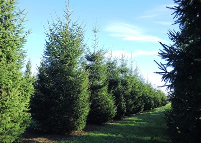 Picea-abies-450-500-550-600-1STAMS_5
