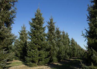 Picea-omorika-500-600-700-1STAMS-(5)