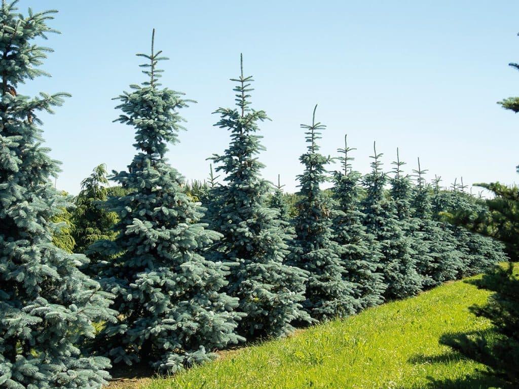 Picea pungens Hoopsii