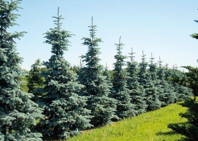 Picea-pungens-Hoopsii-H-300-350-1BAER-8582