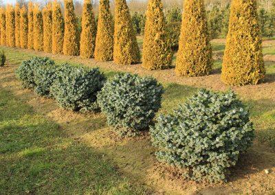 Picea-sitchensis-Silberzwerg-70-80-2LI-(1)
