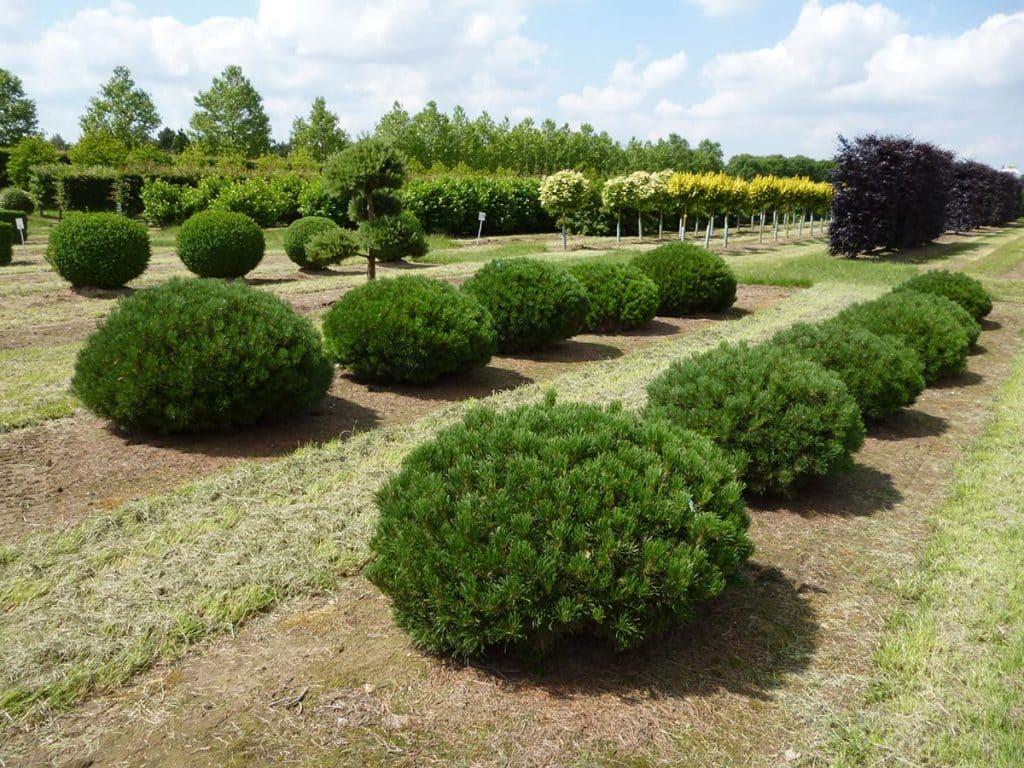 Pinus mugo mughus Sol Kugel, flach