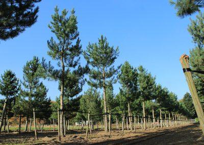 Pinus-nigra-laricio-Gipfelstürmer-60-70-80-NEREI_1