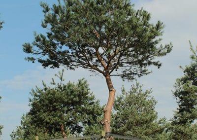Pinus-sylvestris-80-90-TAL_05