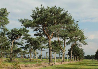 Pinus-sylvestris-80-90-TAL_31