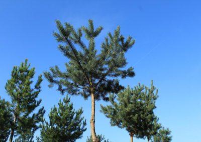 Pinus-sylvestris-Gipfelstürmer-30-35-40-Sth-350-NEREI_4