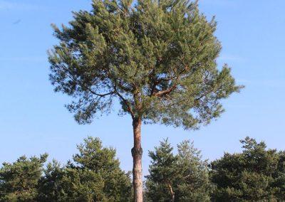 Pinus-sylvestris-Pinienform-HINS-(12)