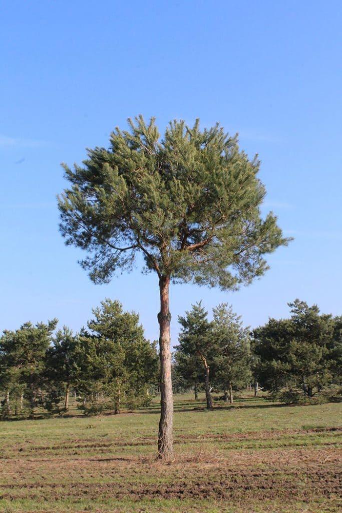 Pinus sylvestris Pinienform