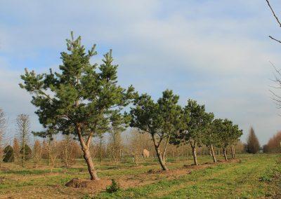 Pinus-sylvestris-Windbraut-300-350-2LI